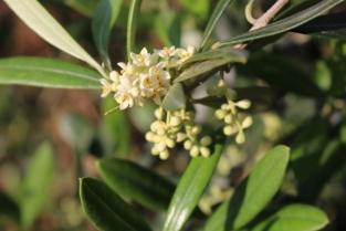【オリーブの花】5月下旬~6月上旬
