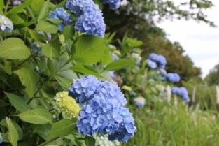 【紫陽花】5月下旬~6月下旬