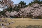 約7000本の桜が咲き誇る